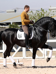 Black_PRE_stallion_at_stud_frozen_semen.jpg