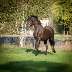 cheval_jument_pure_race_espagnole