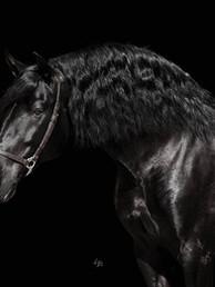 Black_PRE_stallion_at_stud.jpg