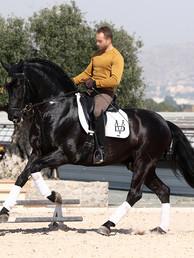 Black_Escalera_stallion_at_stud.jpg