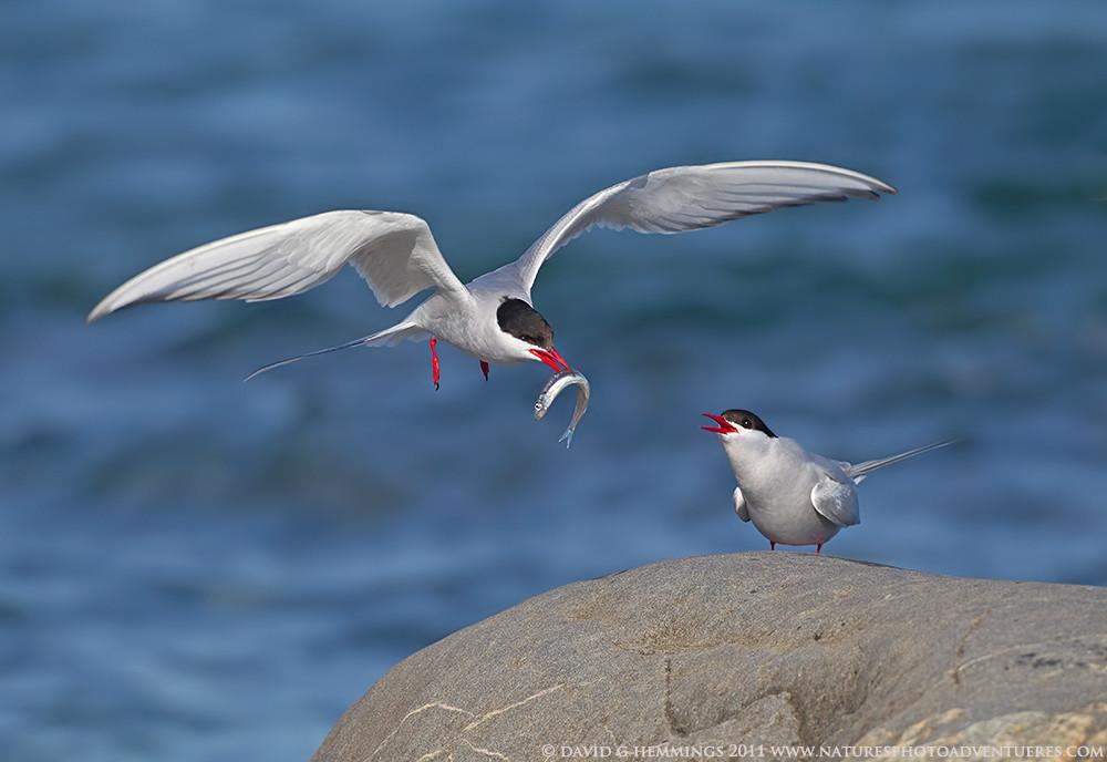 Arctic Tern with Fish David Hemmings