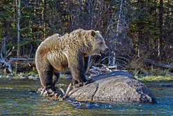 Grizzly Bear on the rocks