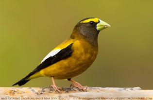 Evening Grosbeak at Eagle Bear Lodge