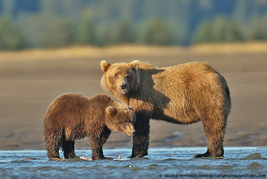 Grizzly Bear Mother and Cub Alaska