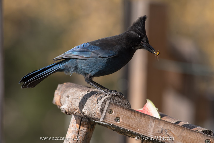 Bird Report! Stellar Jay