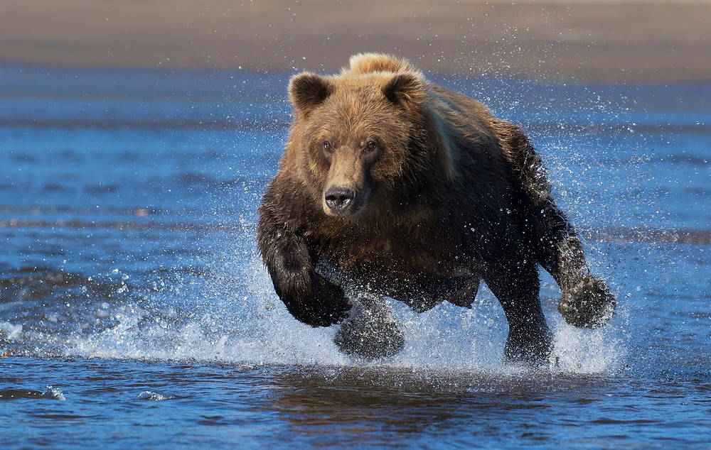 Charging Grizzly David Hemmings