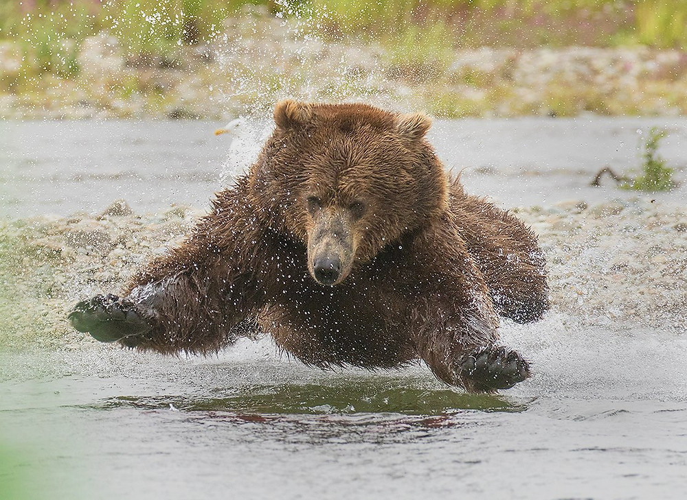 Grizzly Bear Leap - David Hemmings