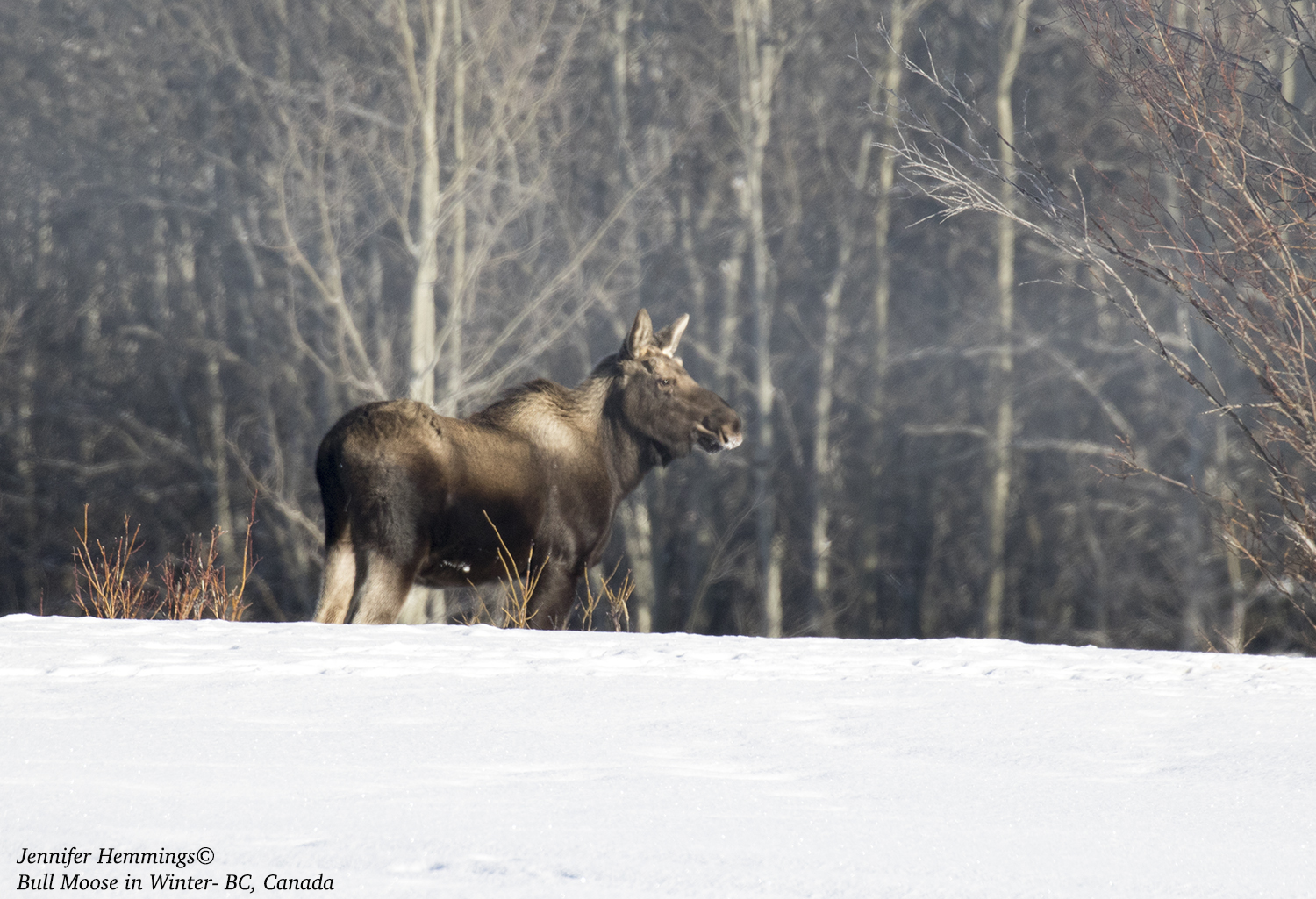 Bull Moose in Winter Jennifer Hemmings_F4A0001