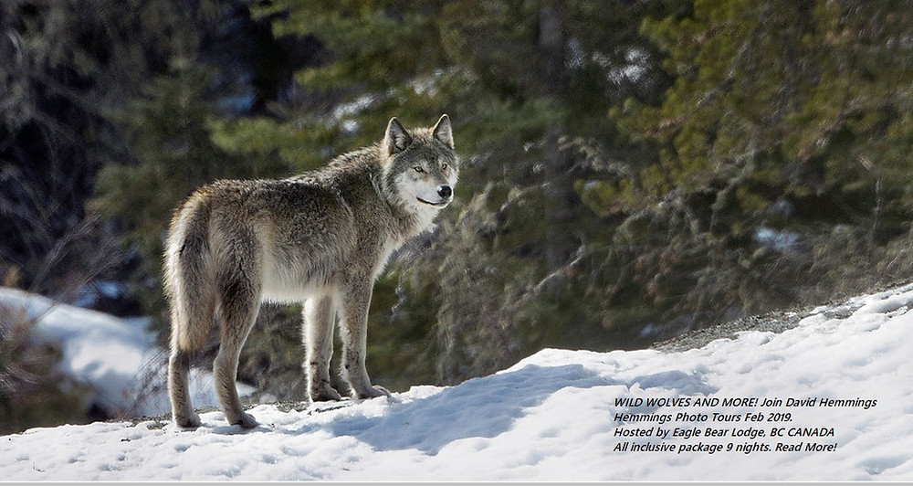 David Hemmings Photo Tours- Wild Wolf