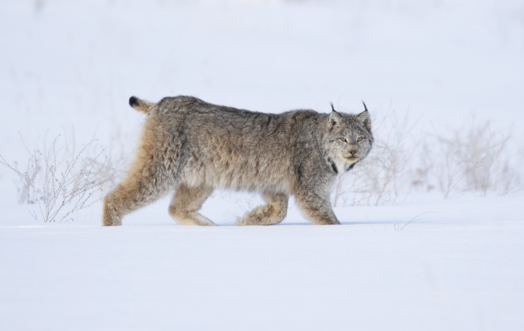 Lynx Canada David Hemmings Photo Tours P