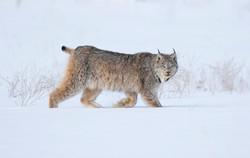 Lynx Canada David Hemmings Photo Tours P