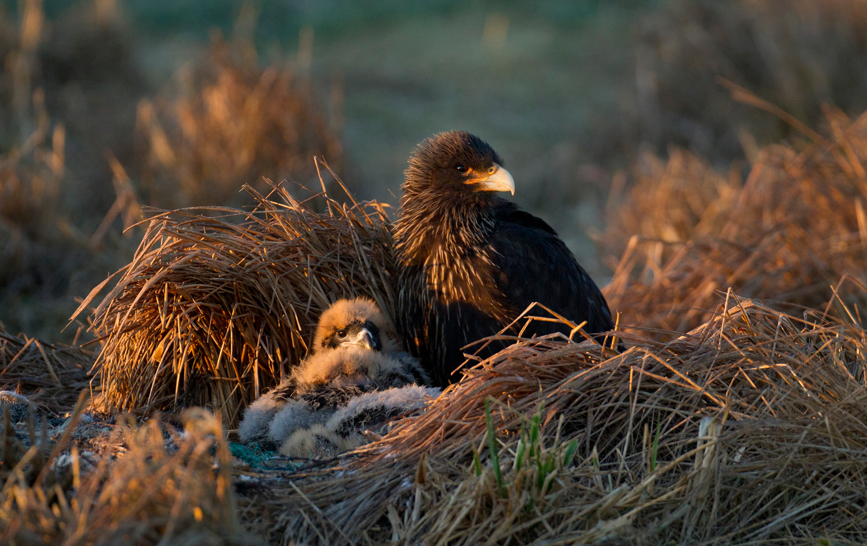 Caracara nest