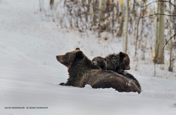 Mother and cubs snow BC Bears David Hemmings_F4A8184