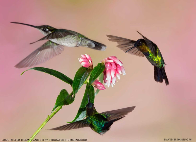 Warm up with Costa Rica Hummingbirds & More