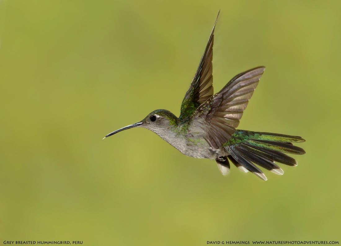 Grey-breasted Hummingbird