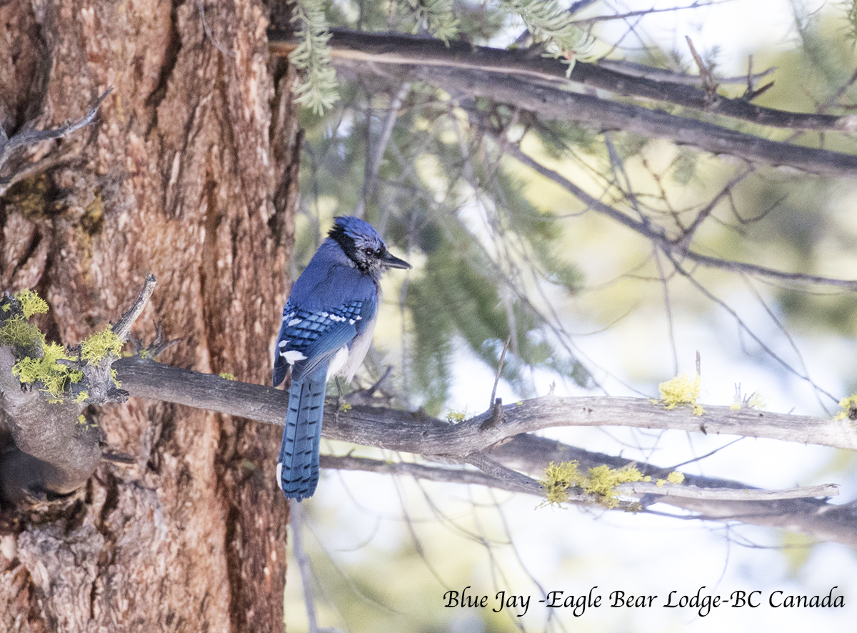 Blue Jay Bird Jennifer Hemmings_F4A8724
