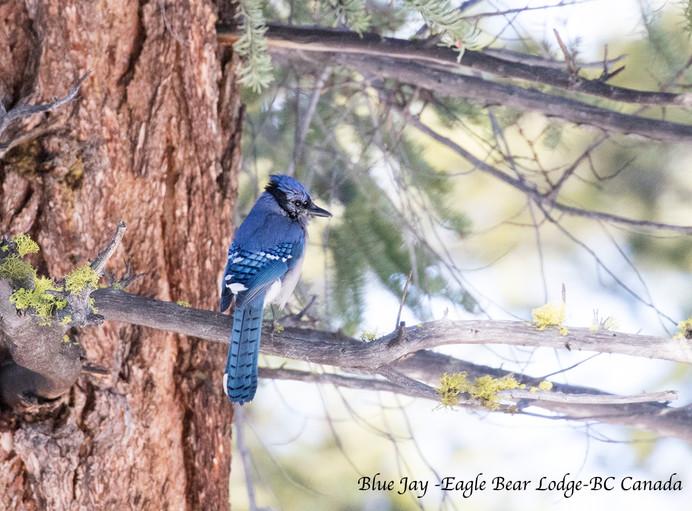 A Blue Jay Bird at Eagle Bear Lodge