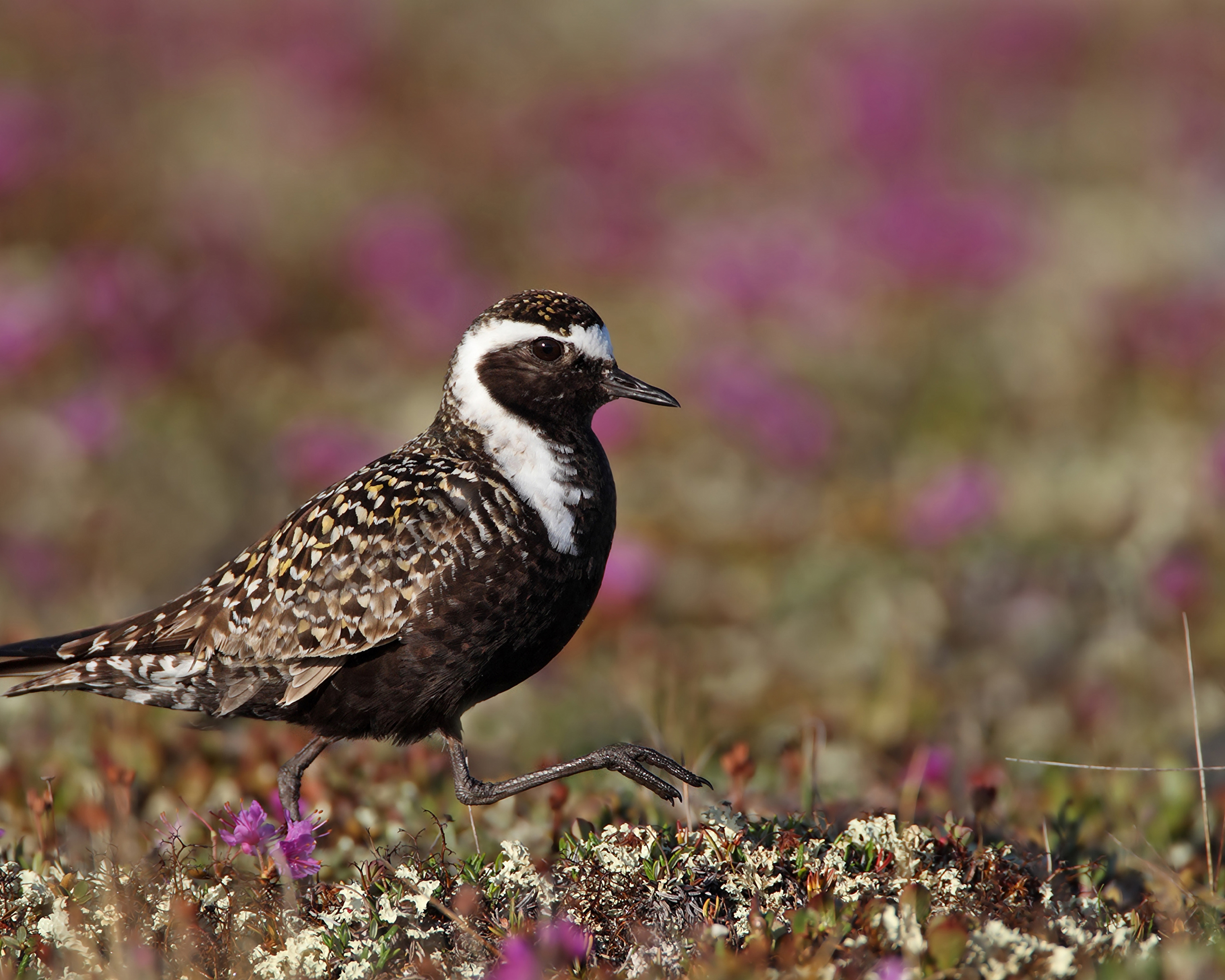 AGAMI american Golden Plover 2 Canada David Hemmings