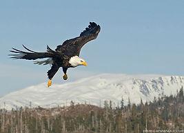 Bald Eagle in flight David Hemmings.jpg