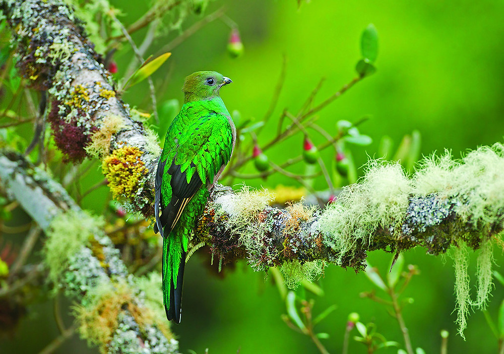 Quetzal-Female Bird Photo David Hemmings