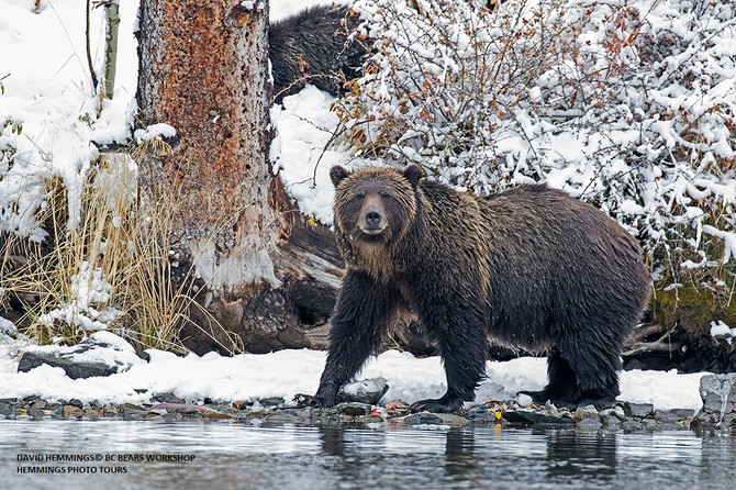 Fantastic Bear Year on our BC River