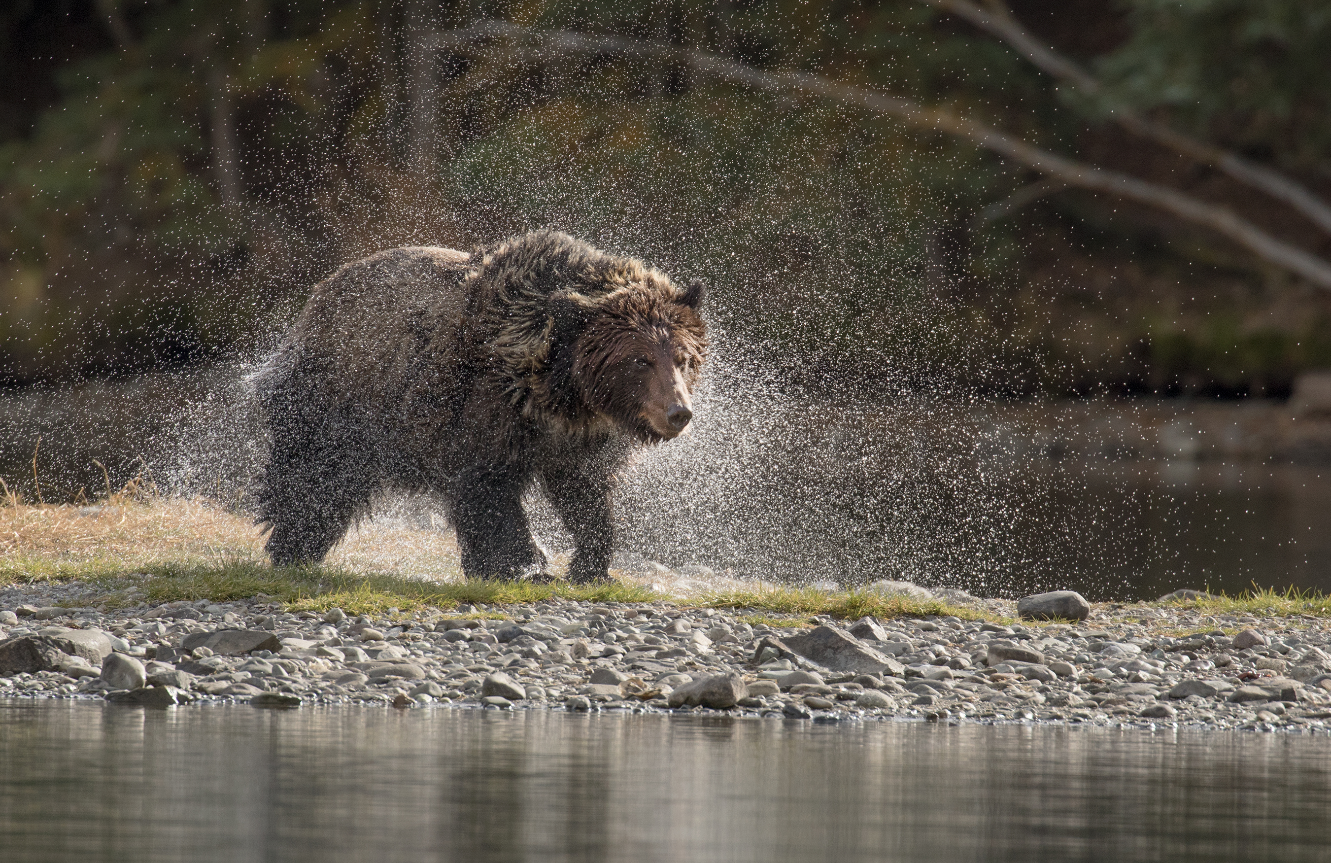 Grizzly Bear in water- David Hemmings
