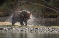 Grizzly Bear in water- David Hemmings
