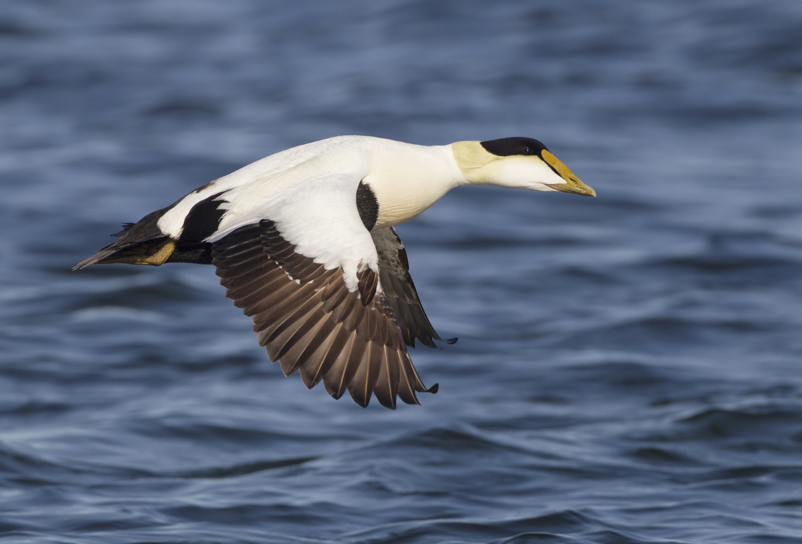 AGAMI Common Eider Male Canada David Hemmings