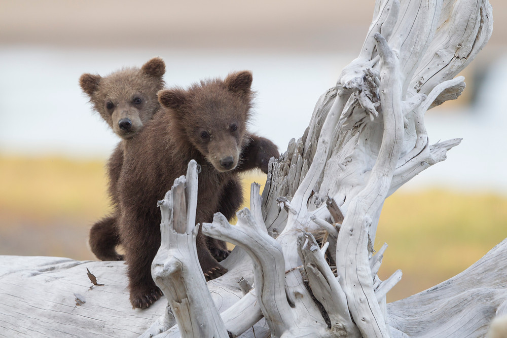 Grizzly Bear Cubs- David Hemmings