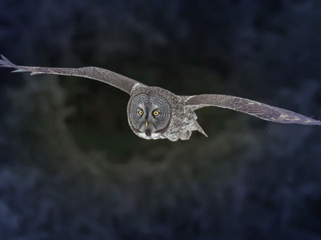 This Week! Amazing Great Grey Owls Photo Action