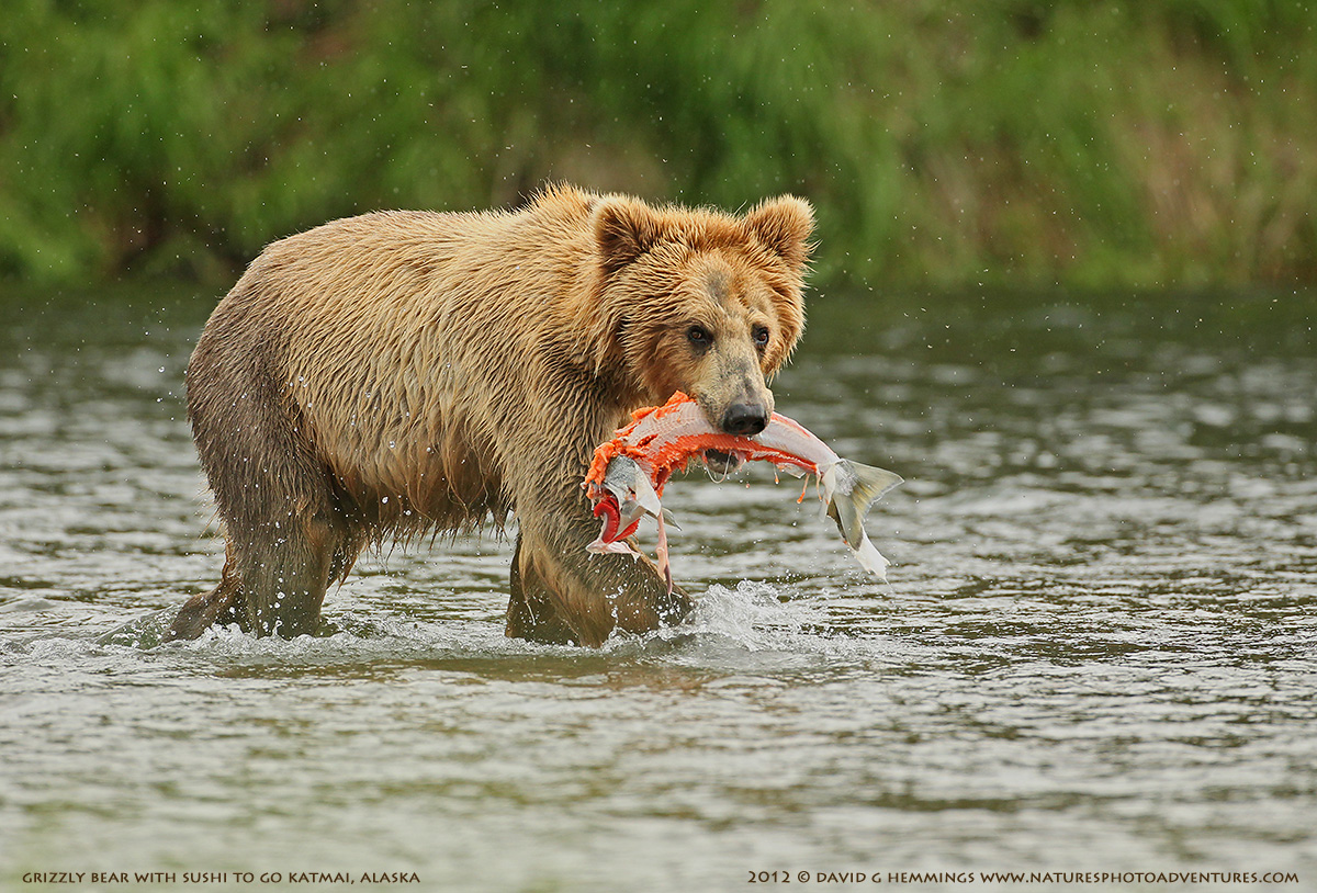 Grizzly Bear with fish catch