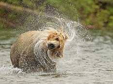 Grizzly Bear Splash David Hemmings.jpg