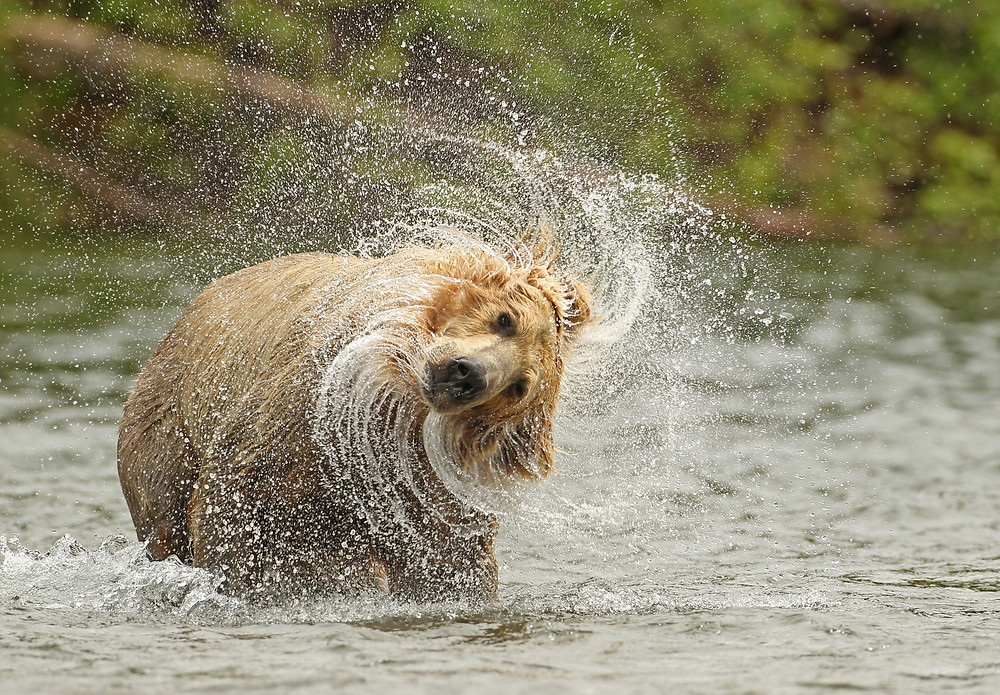 Grizzly Bear Head Shake David Hemmings