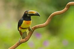 Getty Aracari