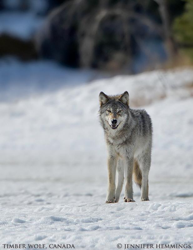 Wolves Howl at Eagle Bear Lodge