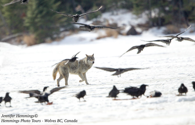 Timber Wolves in BC!