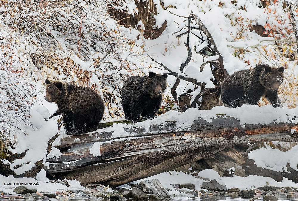 BC Grizzly Bears 3 Cubs David Hemmings