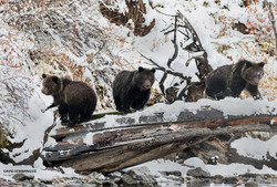 Snow Grizzly Cubs David Hemmings _F4A7858