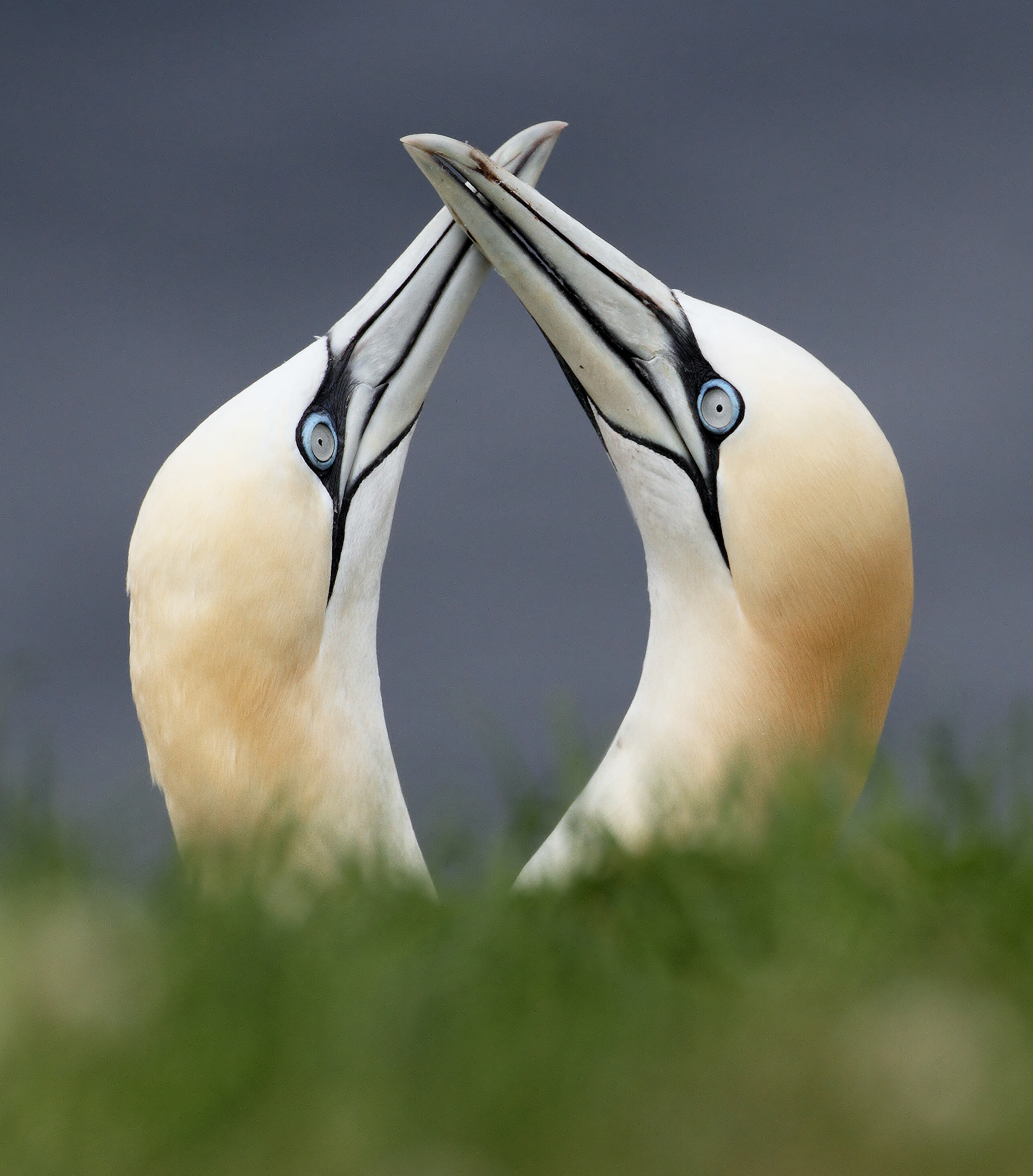 AGAMI Gannets Canada David Hemmings