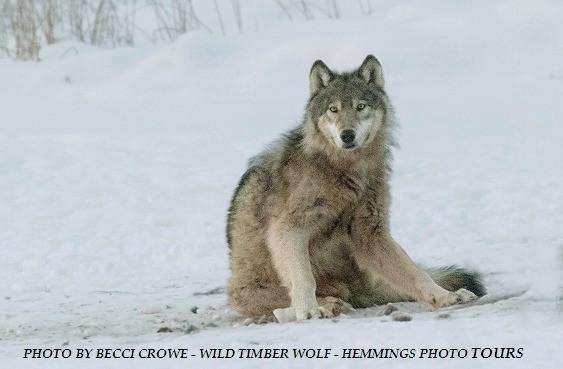 Wild Wolf Photo! Congrats Becci