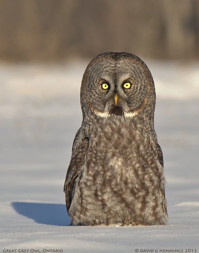 2 Great Grey Owls - Eagle Bear Lodge