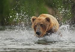 Grizzly Bear Splash
