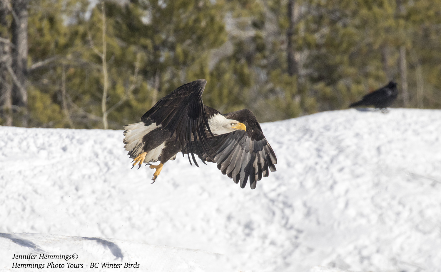 Bald Eagle in flight winter Jennifer Hemmings_F4A0225