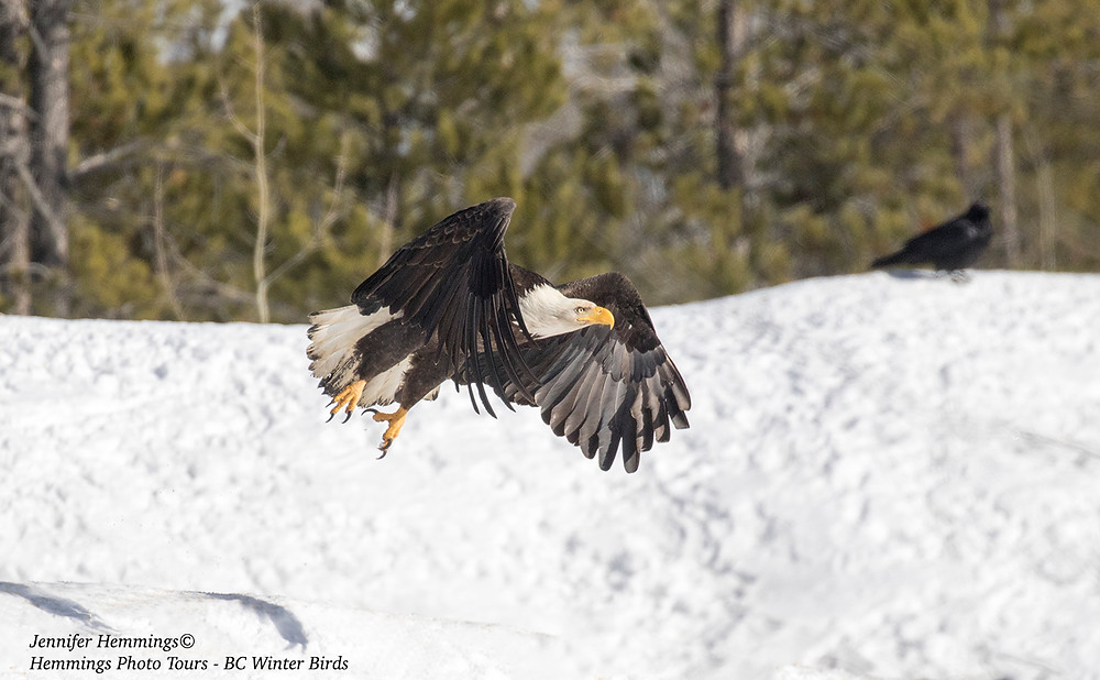 Bald Eagle in flight in winter