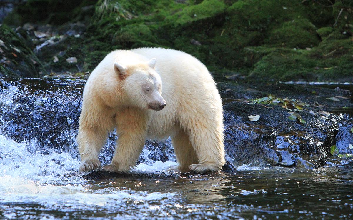 web spirit bear