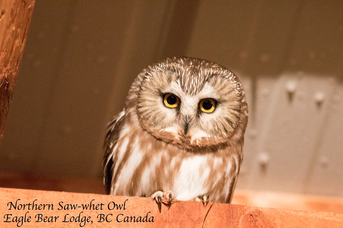 Northern Saw-Whet Owl at Eagle Bear Lodge