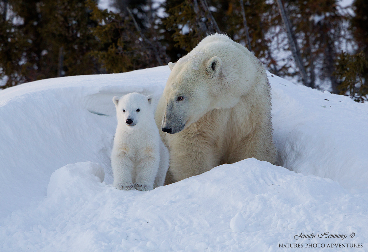 Polar Bear Mother & Cub Grace Jennifer Hemmings web