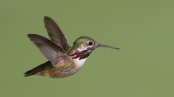 Calliope Hummingbird David Hemmings Eagle Bear Lodge2_edited