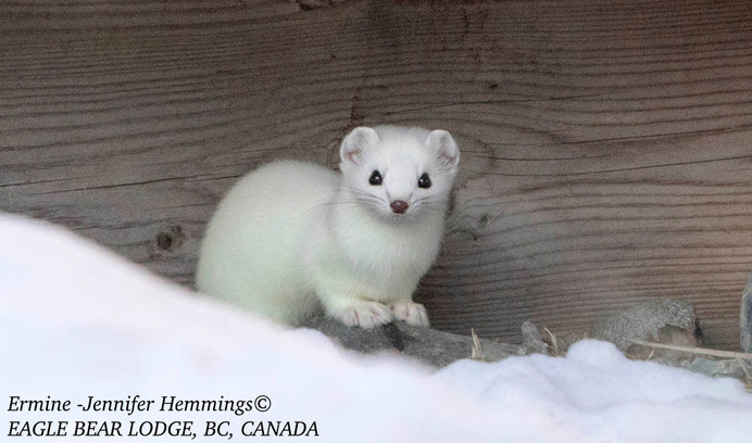 Welcome Ermine!