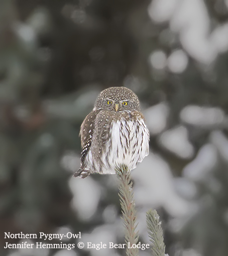 Northern Pymgy Owl Jennifer Hemmings AO4Q9223 copy